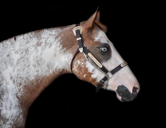 Quarter Horse Pinto
