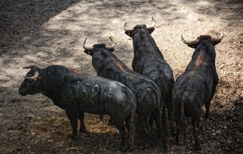 Figthing Bulls