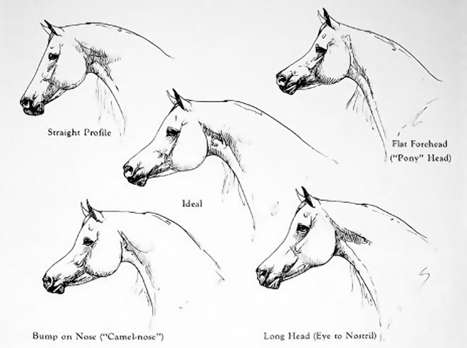 Arabian Head Conformation
