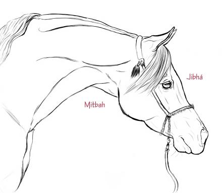 Arabian horse head a detail