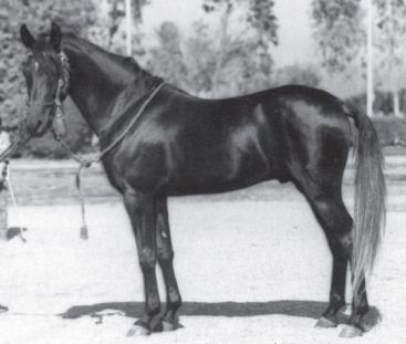 horse_gharib-_2big
