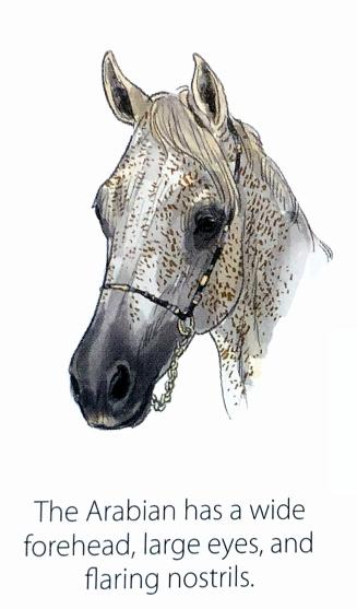 Arabian Fase