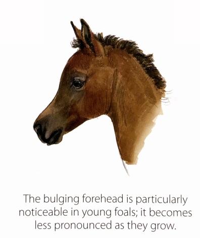 Arabian Foal head