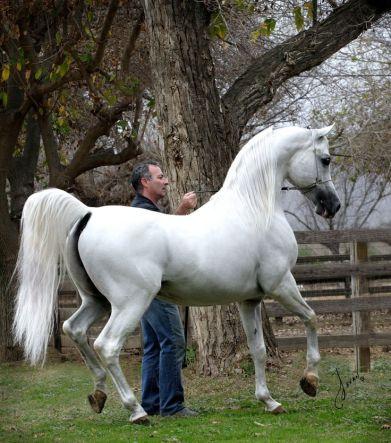 Ecaho Arabian Horse