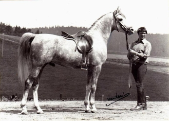 El Shaklan Arabian Horse