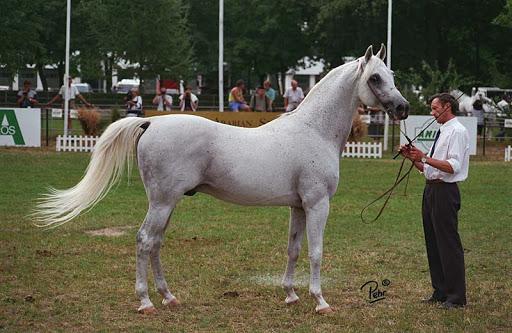 Pepton Polish Arabian Horse