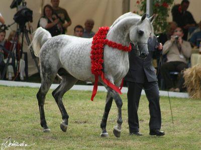 Piaff Arabian Horse